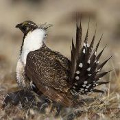 sage_grouse_3.normal