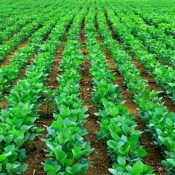 soy-beans-plant-5-1296409