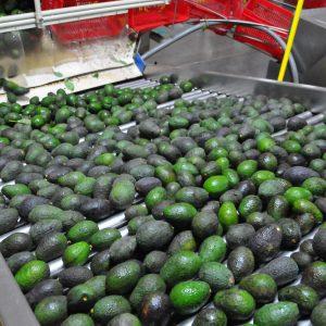 Avocados in Uruapan, Michoacán