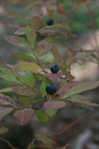 Wild blueberries in Cheakamus. | Photo by Joseph Pallant.