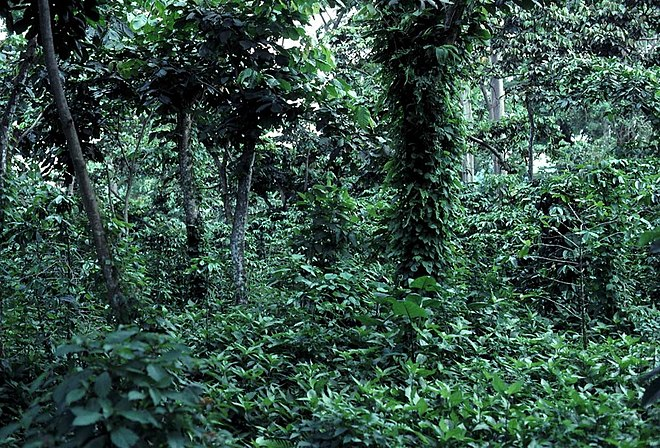Shade coffee plantation in Guatemala.  The undergrowth is coffee, which is both protected and nourished by the larger shade trees. Photo Credit: John Blake, University of Florida